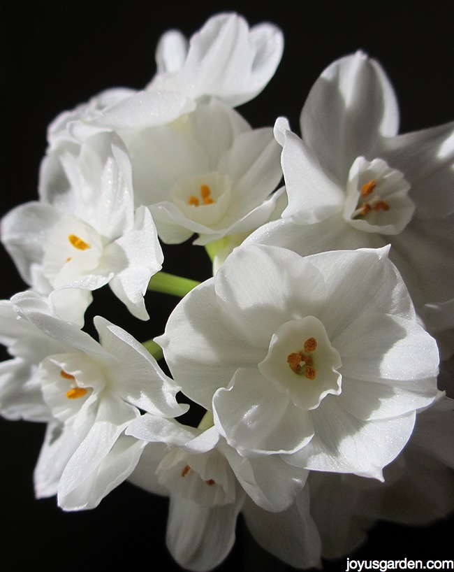 Picture of PAPERWHITE NARCISSUS