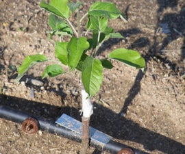 Growing Apple trees from seed.