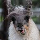 Llama Girl