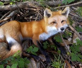 Taxidermy Fox Head Mounting
