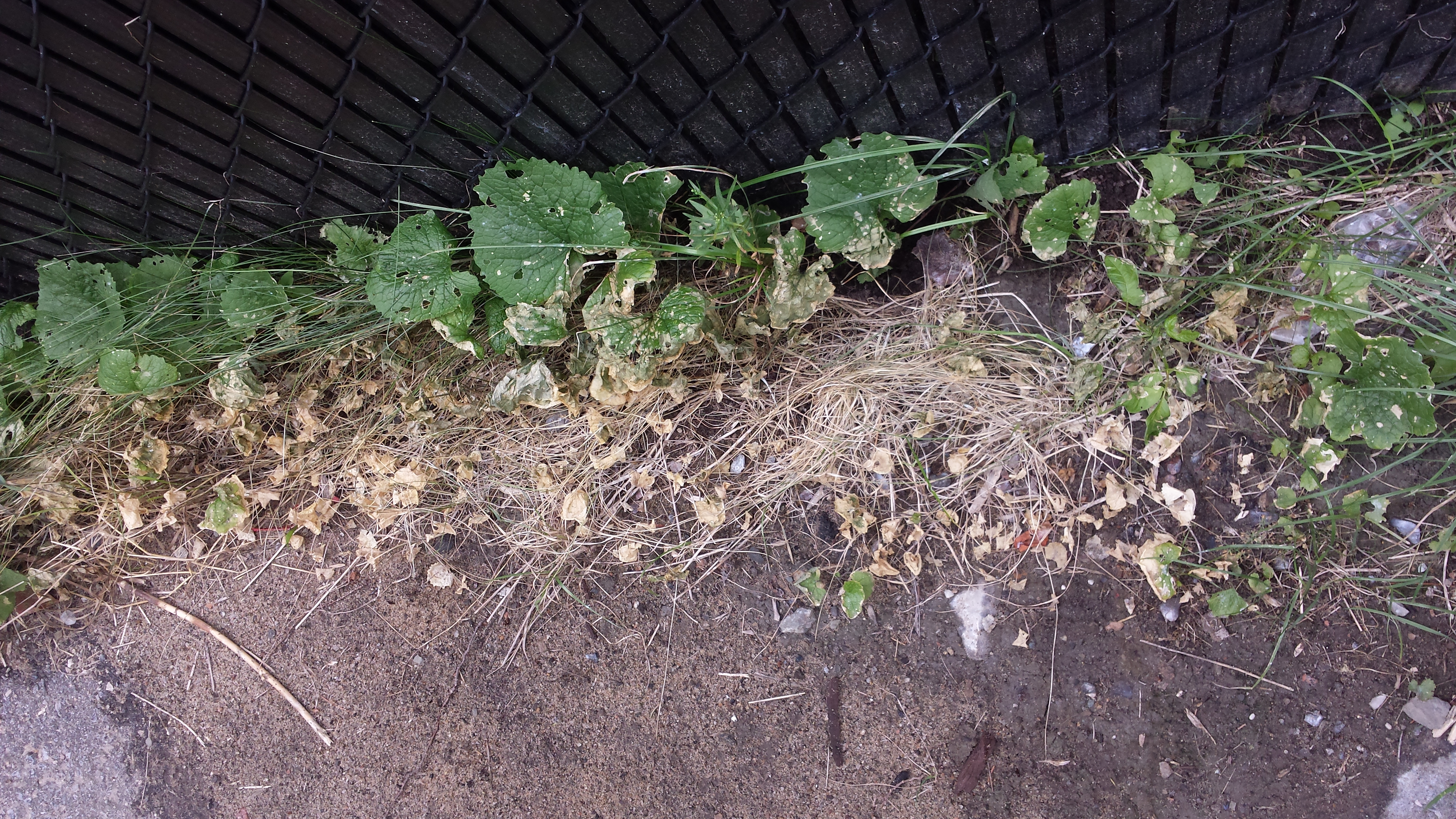 Picture of Using Friendly Mold As an Herbicide Part a and B and C.