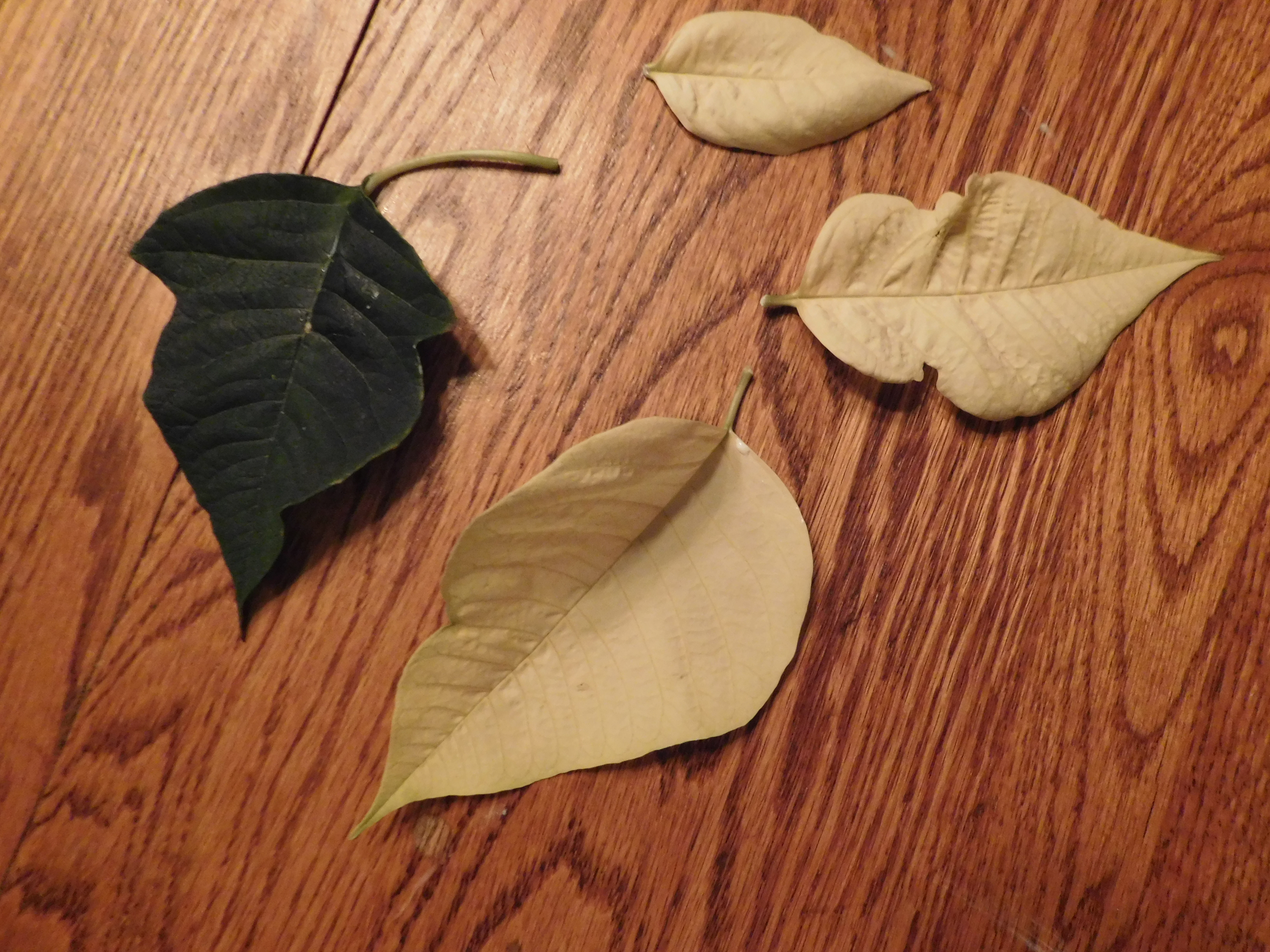 Picture of Using Leaves to Make a Template