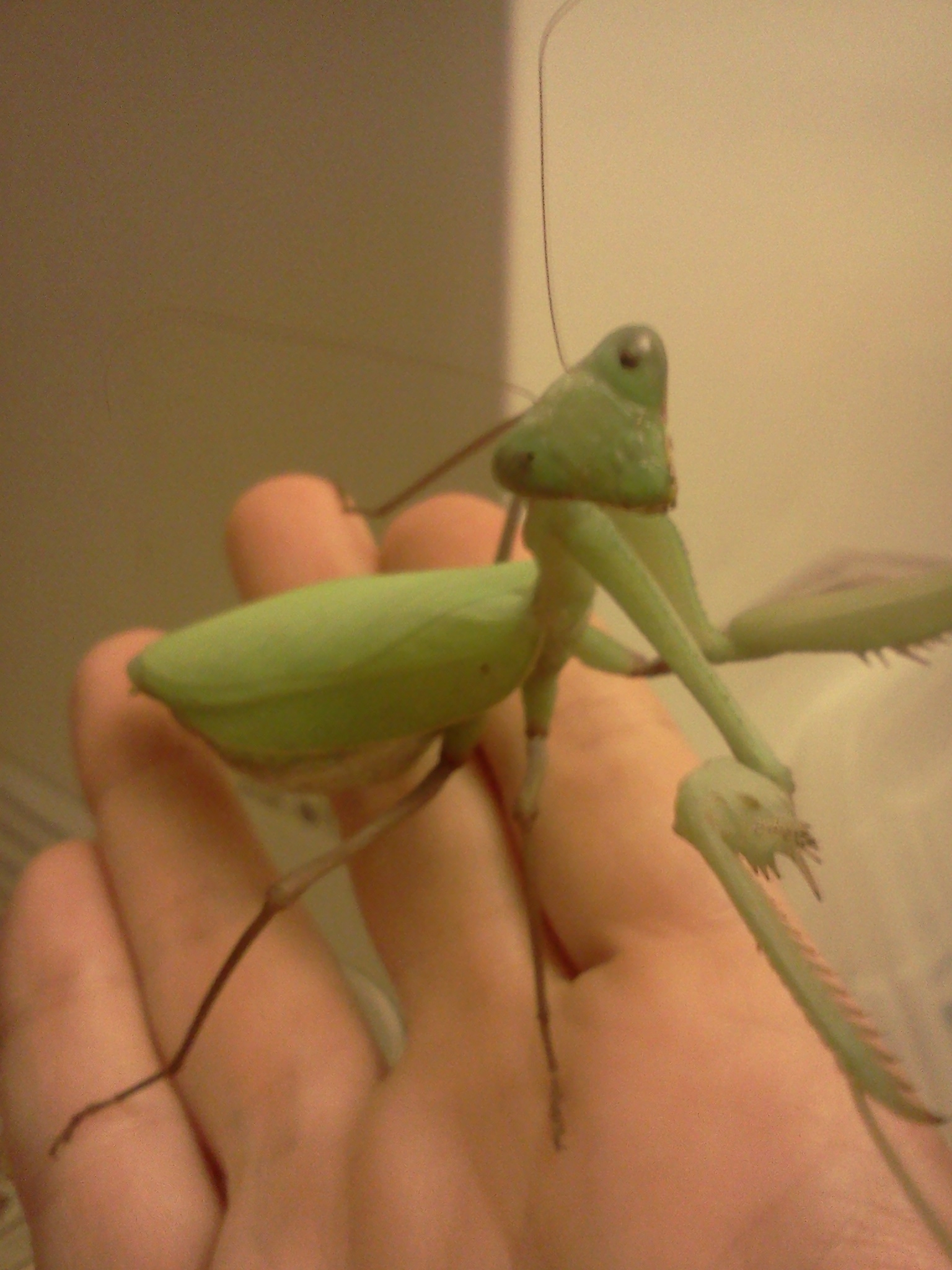 Picture of Keeping a Praying Mantis As a Pet