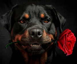 Dog holding a rose....Show me How