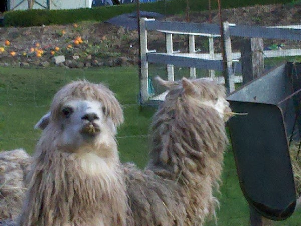 Instructables - INSTALLING a GATE FOR ALPACAS IN THE BACKYARD