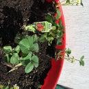 Container Gardening - Strawberries