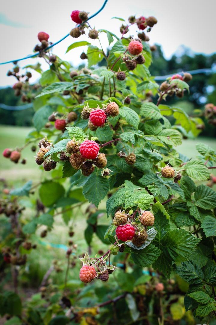 Picture of Backyard Raspberries
