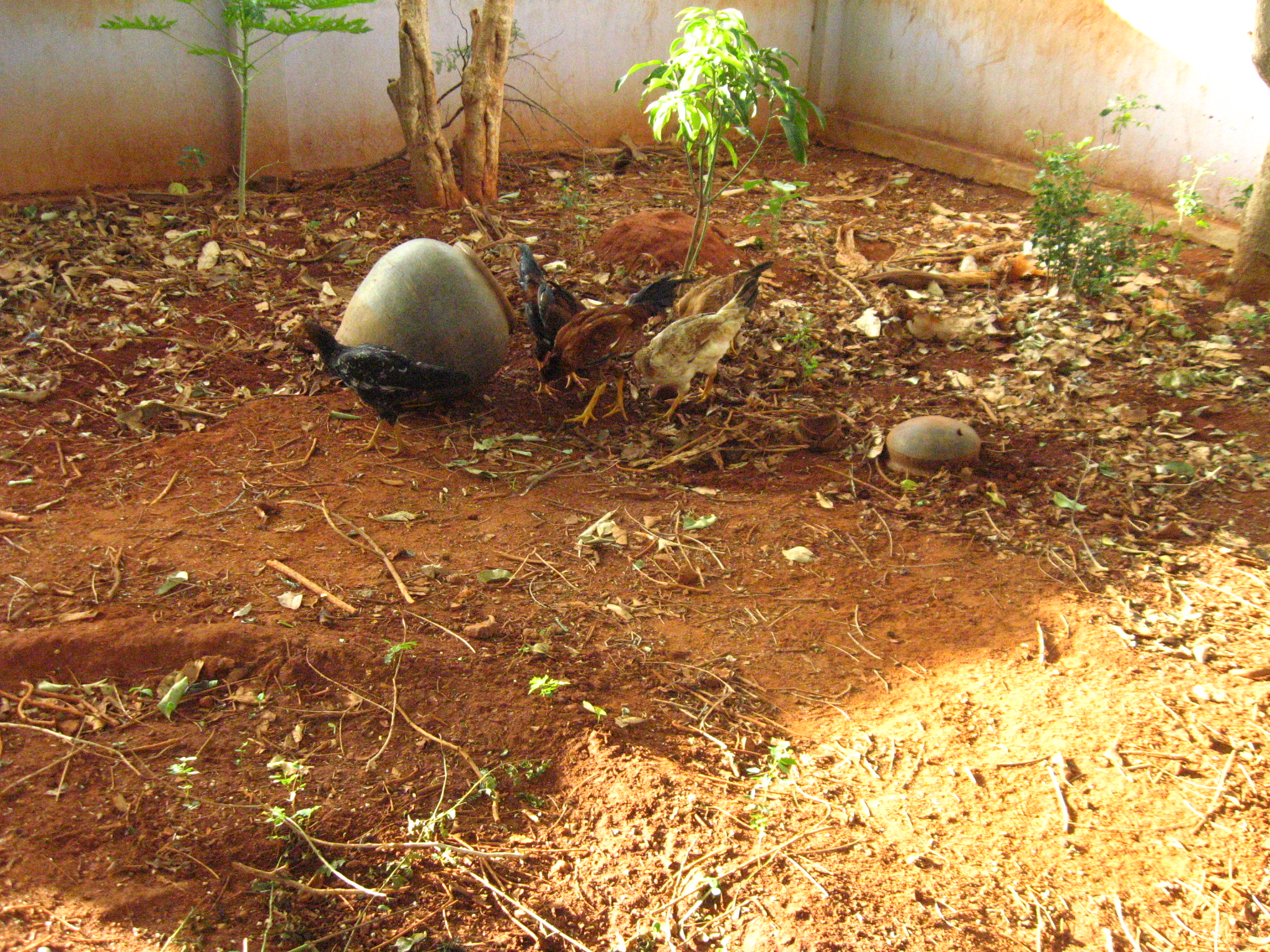 Picture of Feed Termites to Chicken