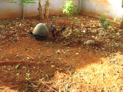 Feed Termites to Chicken