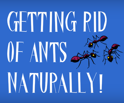 . How to Get Rid of Tiny Black Ants in the House  0 Steps