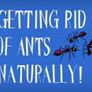 How to Get Rid of Tiny Black Ants in the House