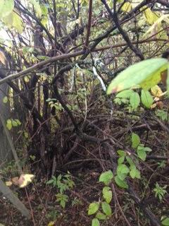 Picture of Identifying Invasive Species:  Bush Honeysuckle