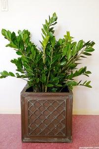 ZZ Plant; Zamioculcas Zamiifolia