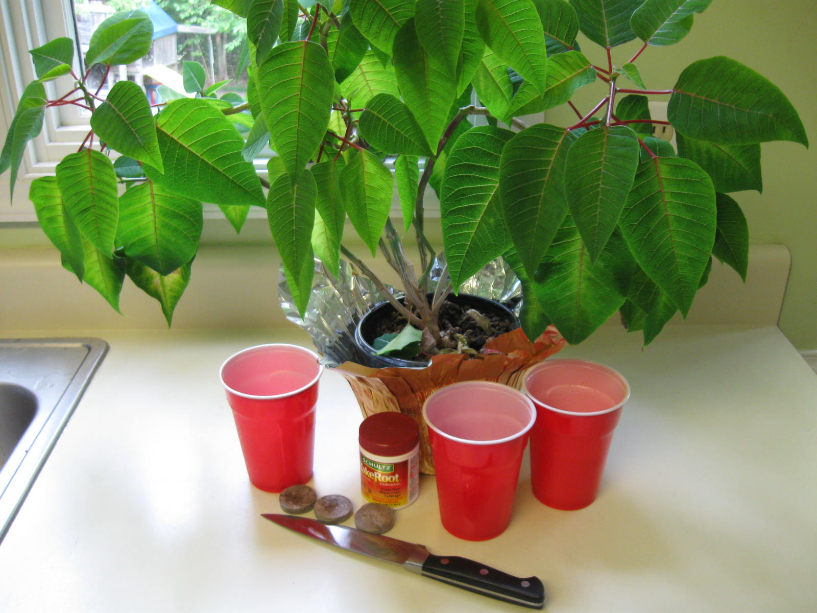 Picture of Cloning a Poinsettia
