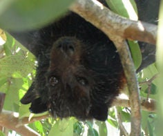 What To Do If You Find A Fruit Bat (Flying Fox)