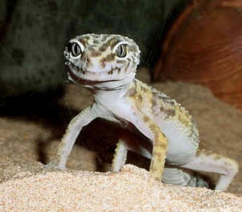 """How to Care for a """"Leopard Gecko"""""""