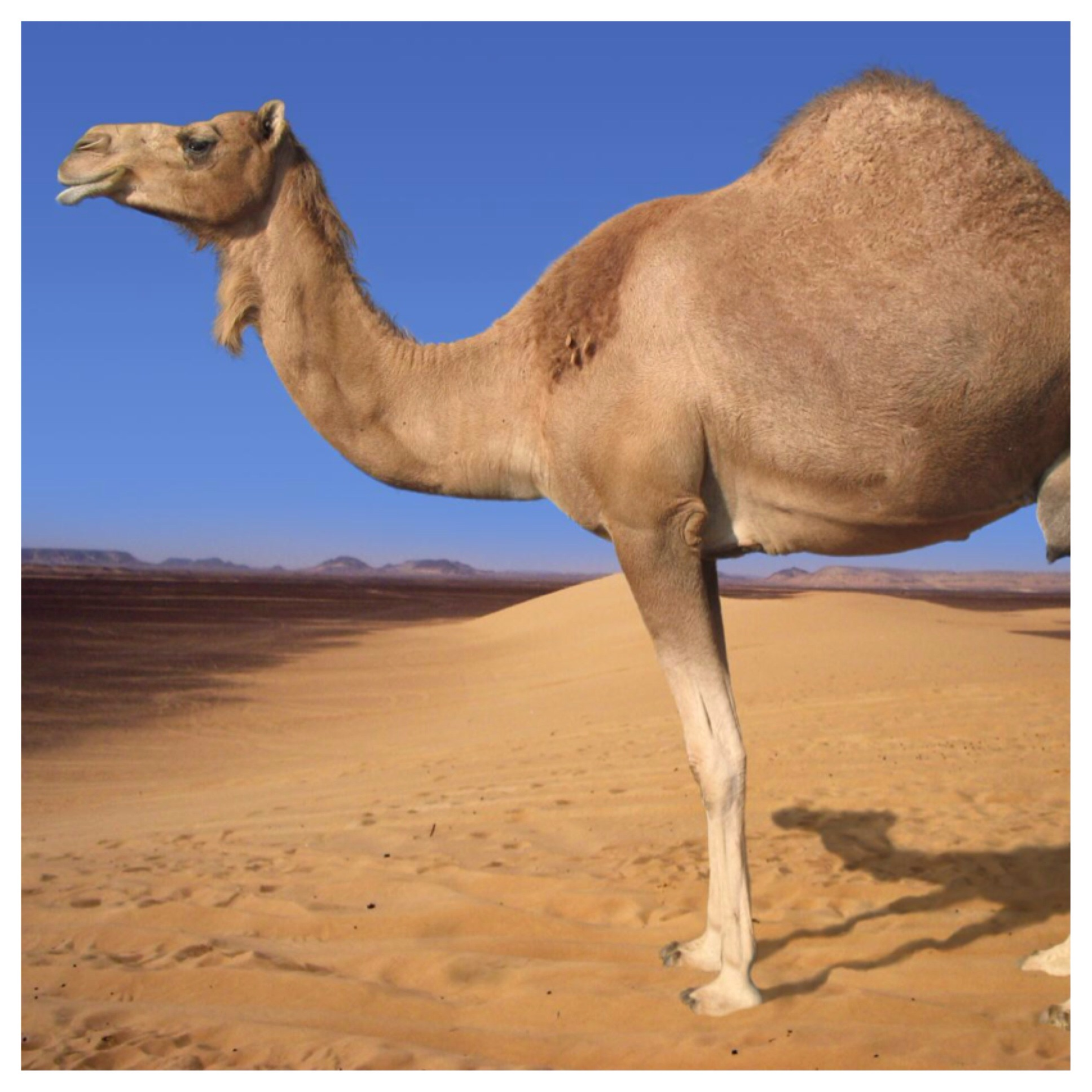 Picture of Find a Picture of a Pretty Chill Camel