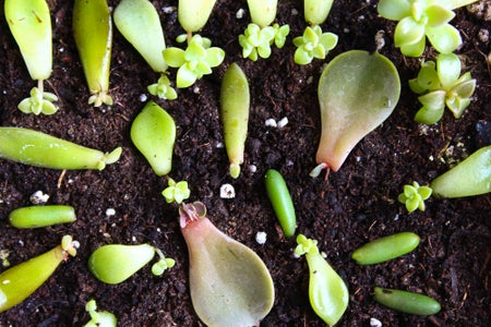 Wait for the Succulent Leaves to Produce Pups and Roots