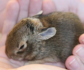 How to Care for a Wild Rabbit Nest