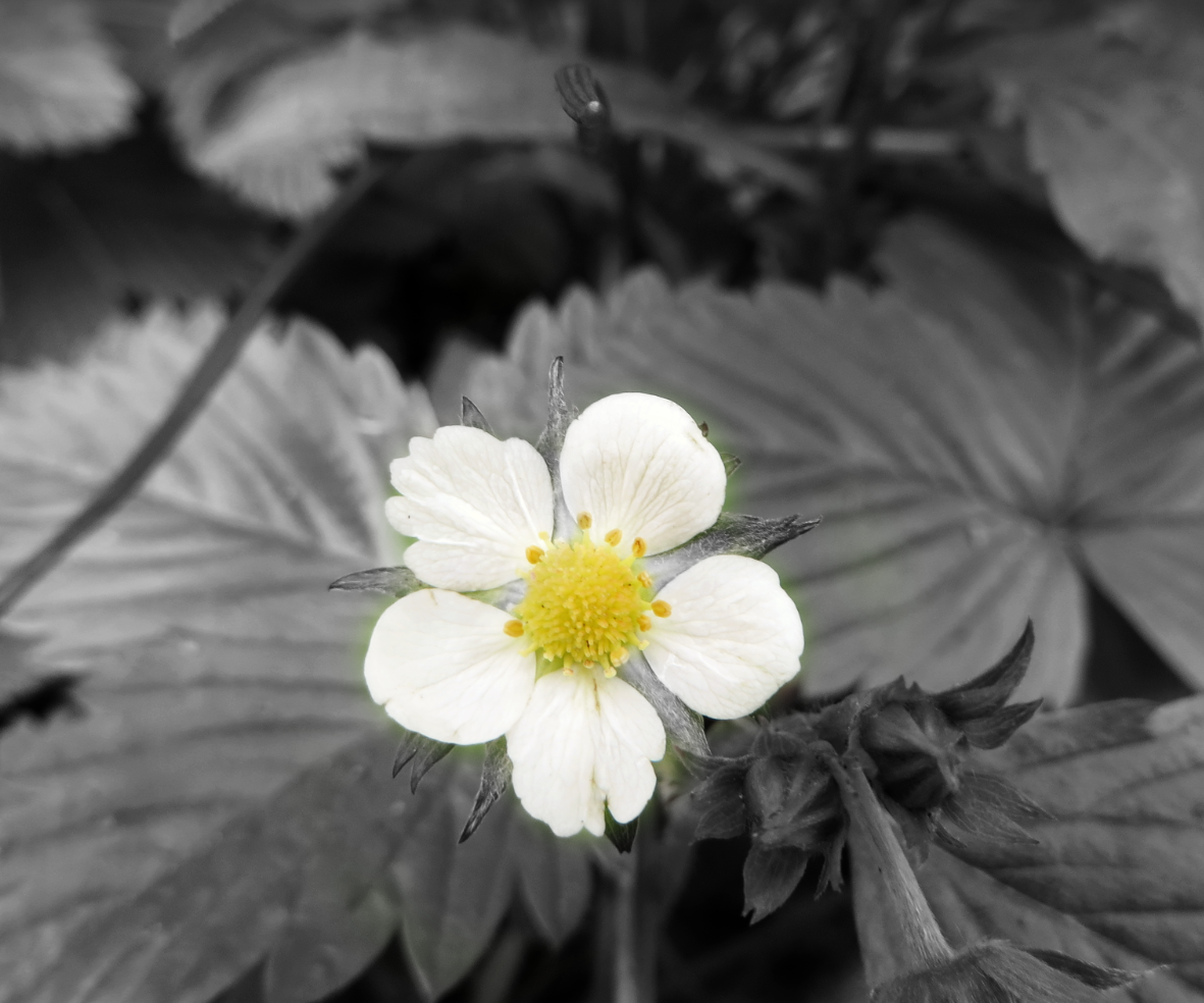 Highlight colours in black and white photos with snapseed
