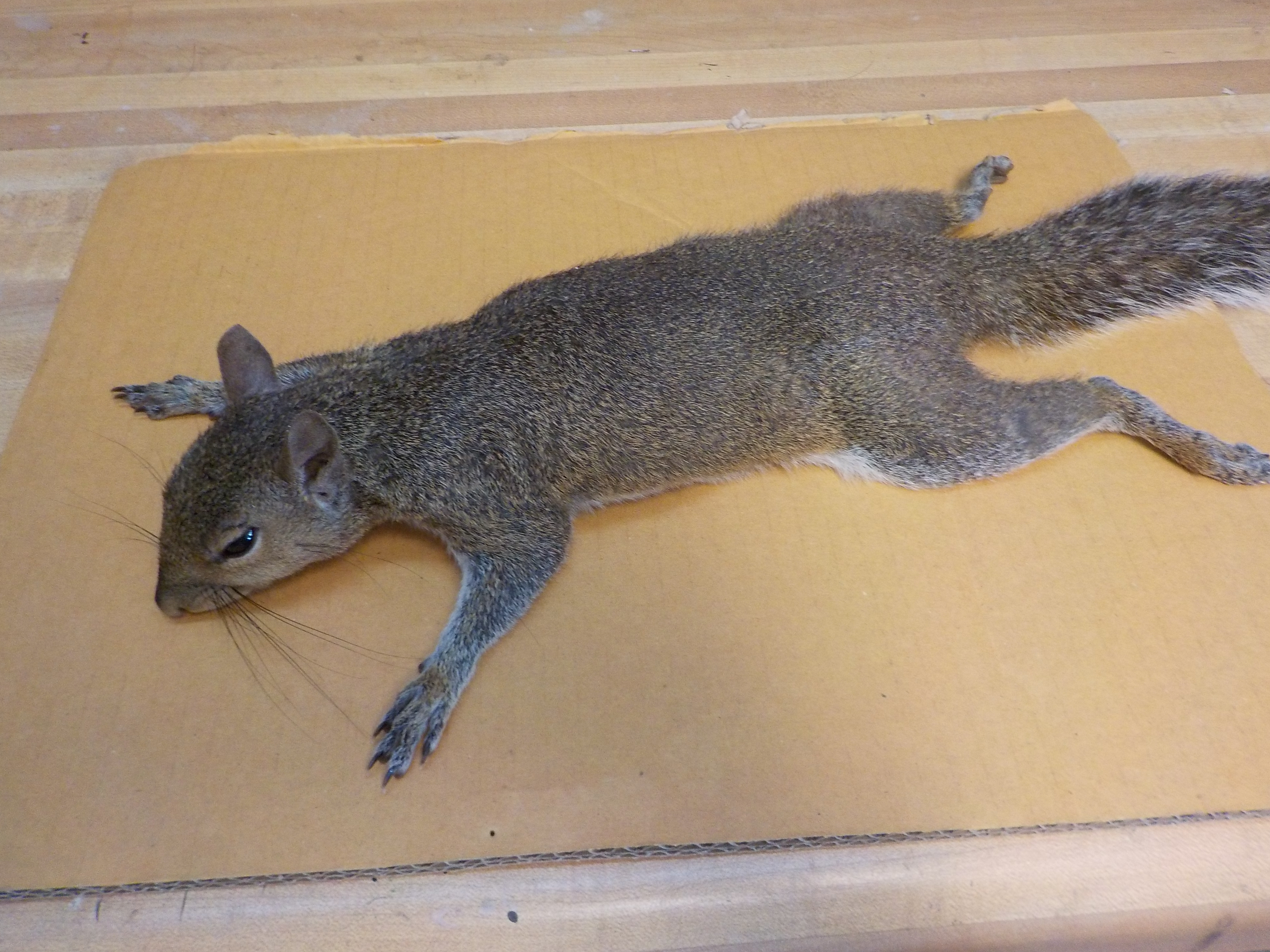 Picture of Skinning a Squirrel for Taxidermy