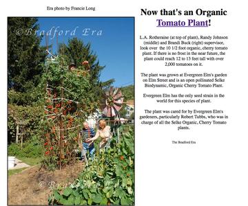 Building a Biodynamic Cherry Tomato Hill
