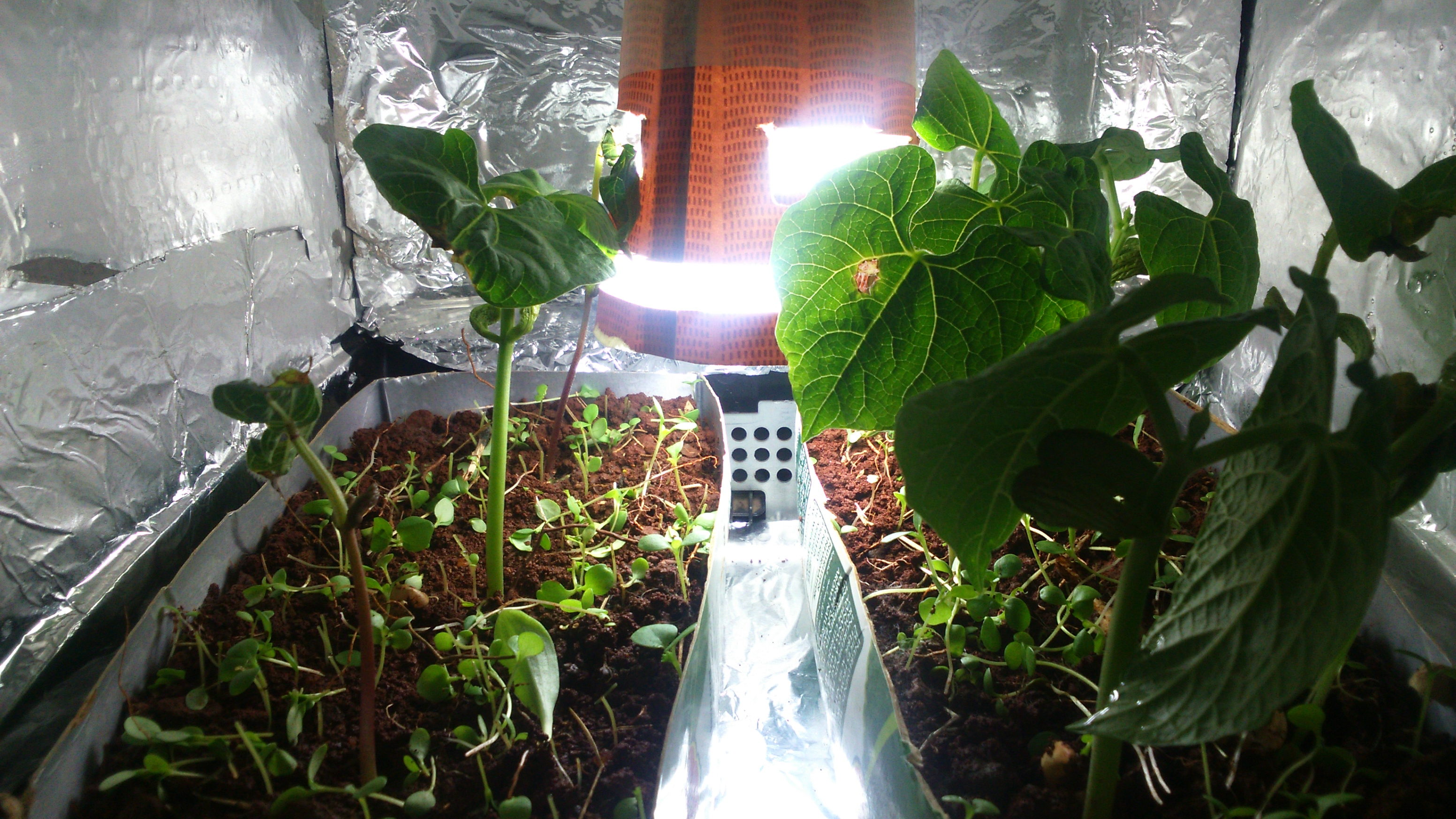 Picture of Grow With CFL Light Experiment