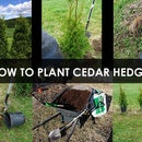 How to Plant Cedar Hedges