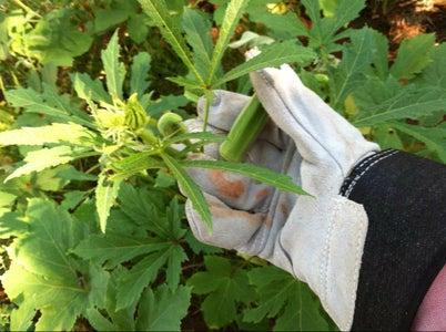 Picking Okra