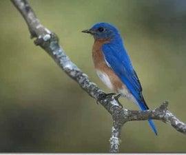 Bluebird Cultivation