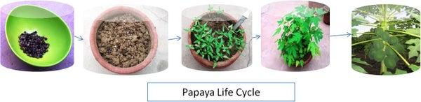 Growing Papaya From Seeds