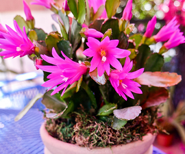 What You Need to Know About Growing an Easter Cactus (Spring Cactus)