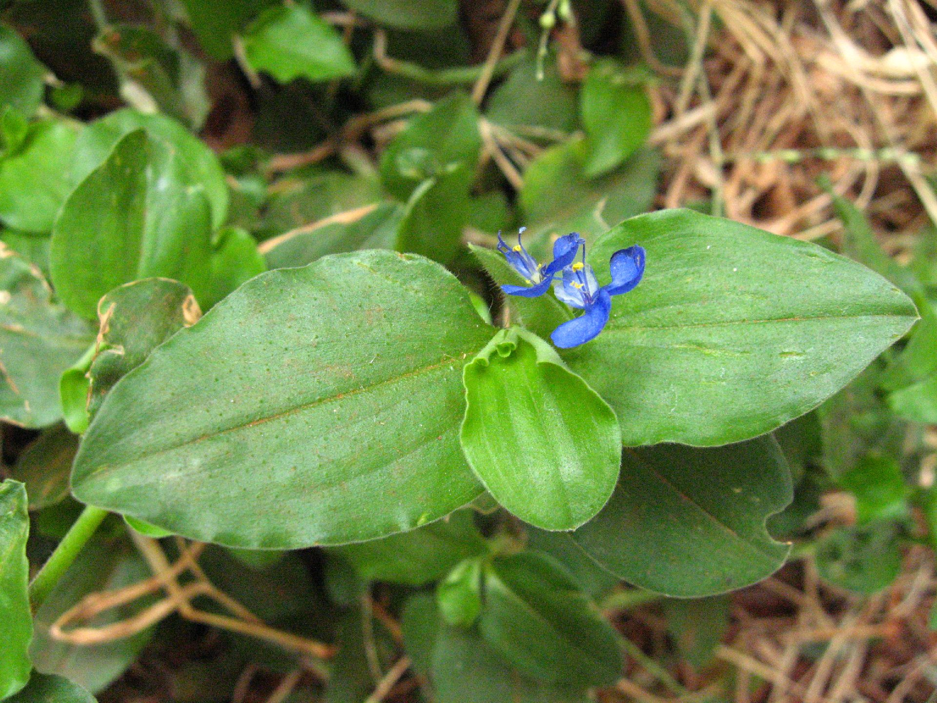 Picture of Asiatic Dayflower