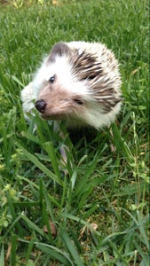 Be Aware of Hedgehog Characteristics.