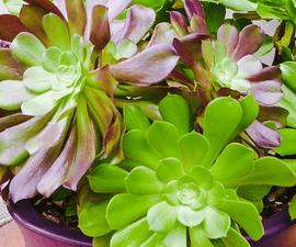 How to Care for Aeonium Arboreum