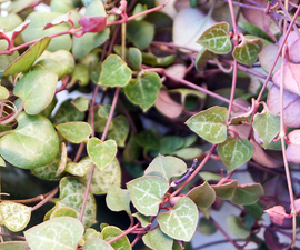4 Ways to Propagate a String of Hearts Plant