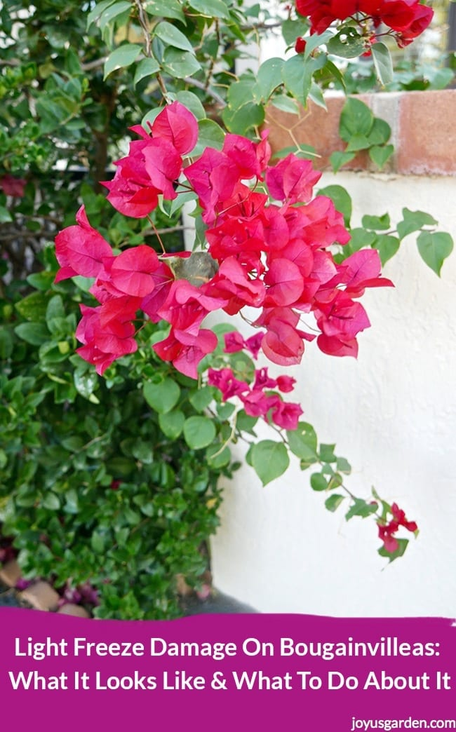 Picture of I Want to Show You What Light Freeze Damage Looks Like on Bougainvilleas and Tell You What My Plan of Action Is.