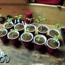 Transplanting tomatoes