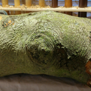 Beech Log Transformed Into a Natural Edge Candle Holder by AMC77