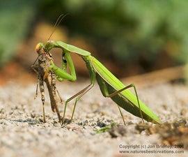 How to raise Baby Praying Mantis'