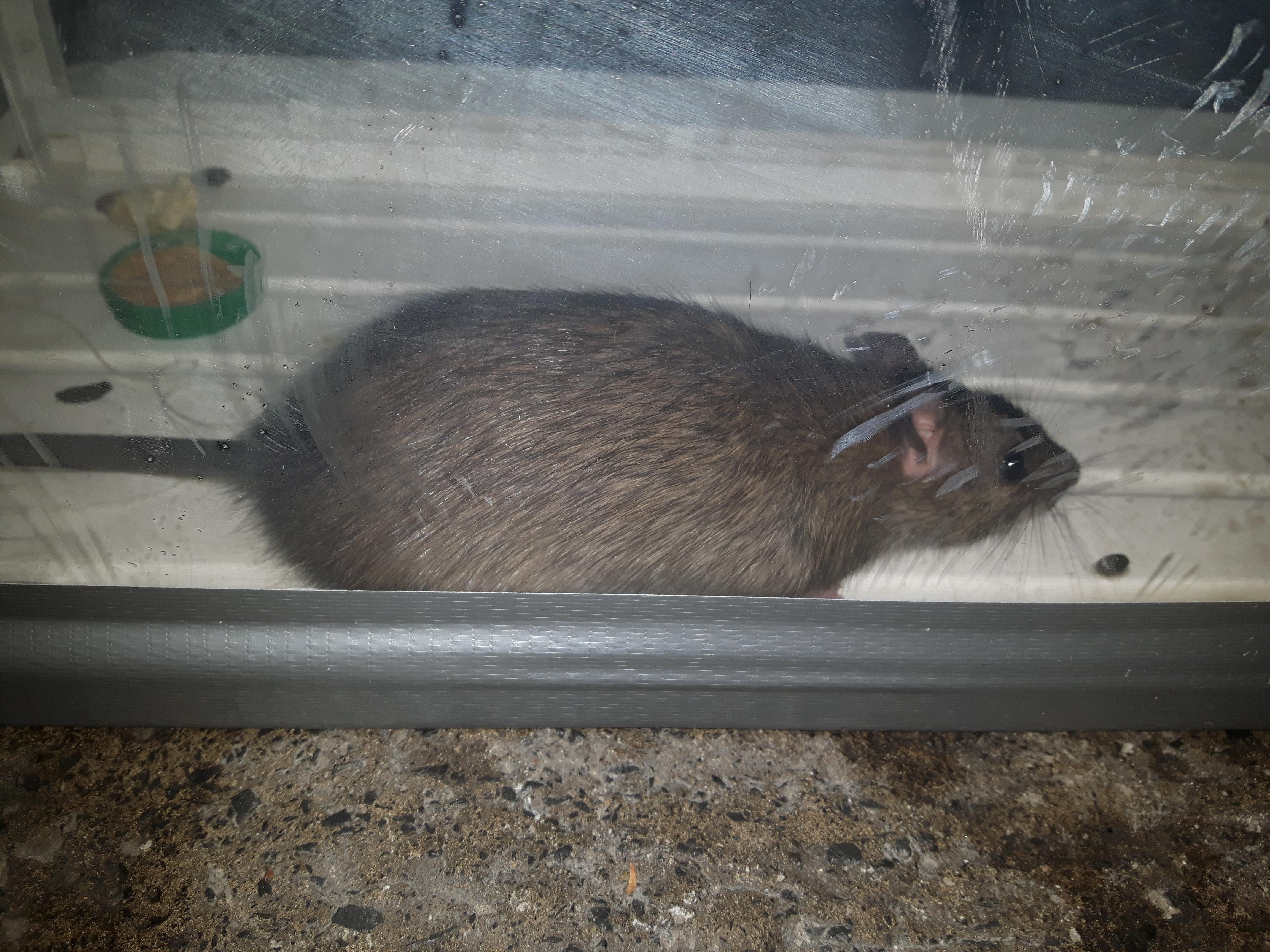 Picture of Rattus Norvegicus