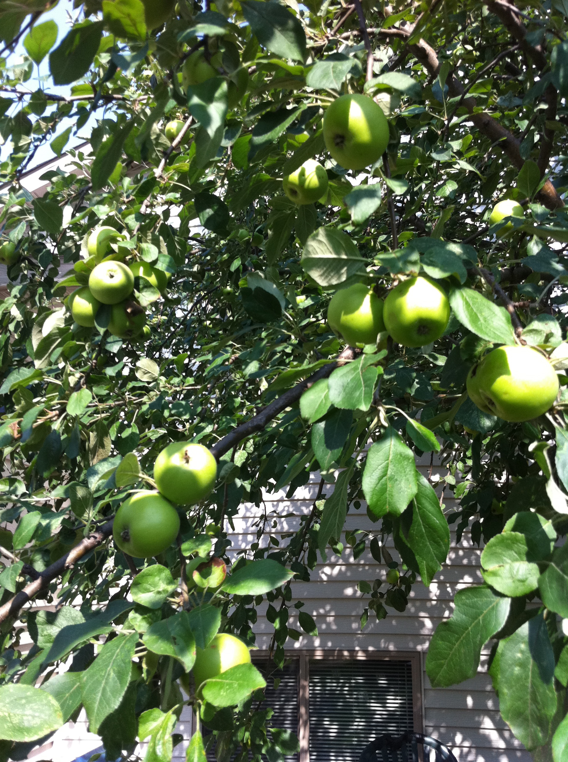 Picture of We Had Lots of Apples This Year