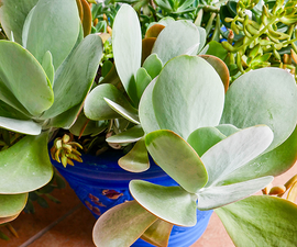 How to Plant Paddle Plant (Flapjacks Kalanchoe) Cuttings