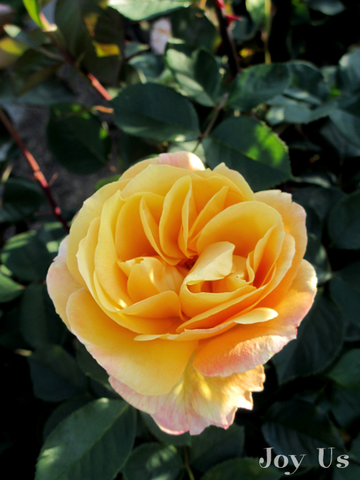 Picture of Strike It Rich / Grandiflora / AARS 2007