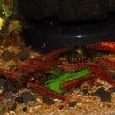 Prepping Greens for Aquatic Invertebrates