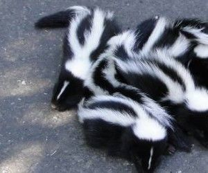 Cleaning Skunk Spray Off Your Animal or You for $3