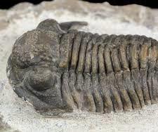 Trilobites the Cambrian Explosion