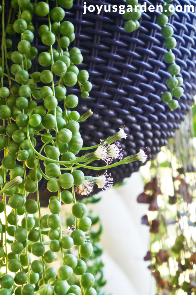 Picture of Tips for Growing a String of Pearls Plant Outdoors
