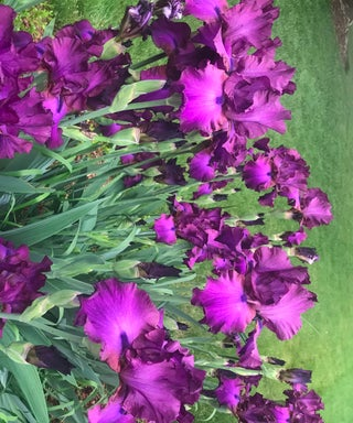 Bearded Iris - Divide and Conquer
