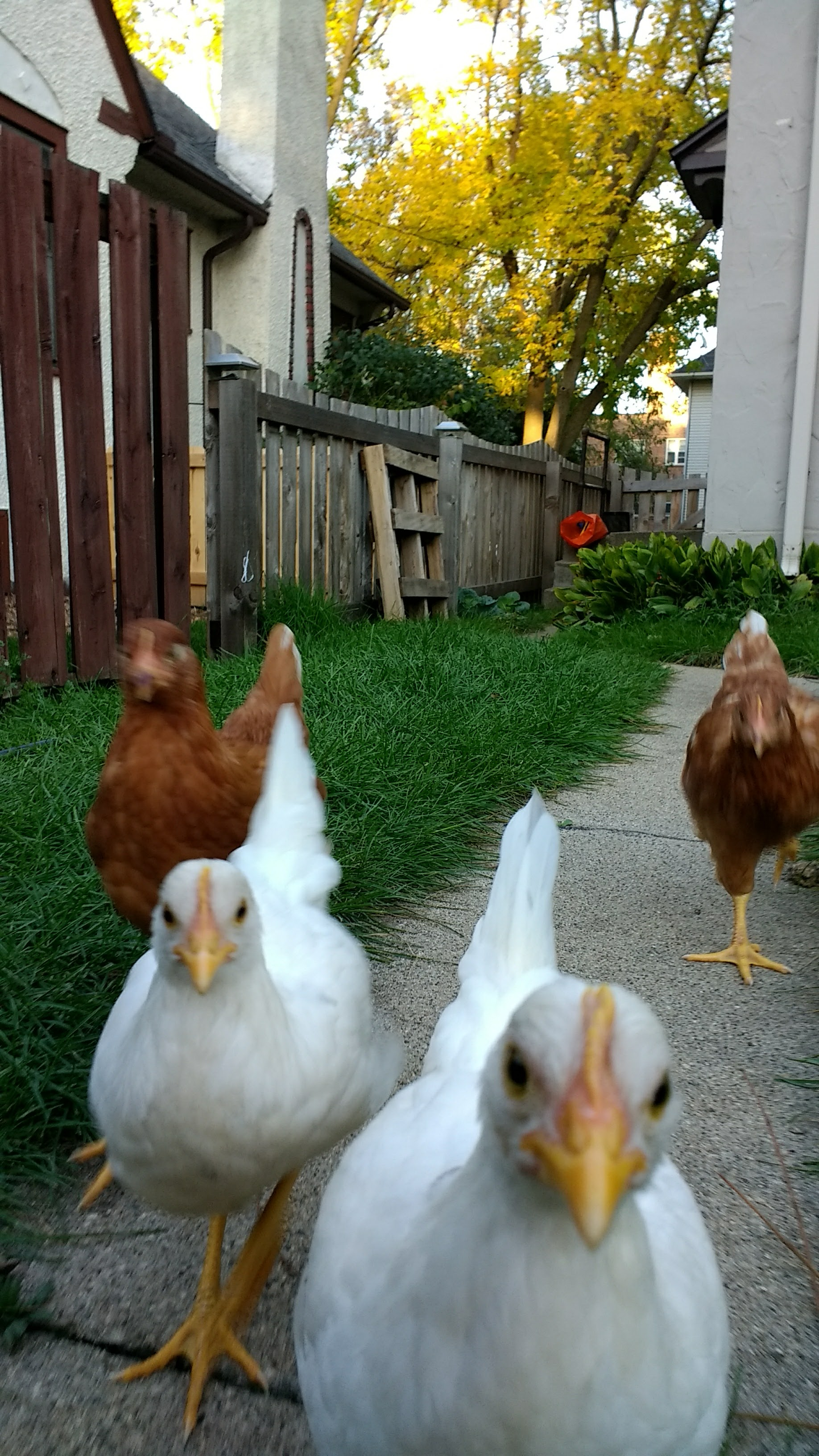 Picture of Everyone Loves Chickens!